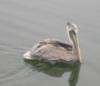 Deborah P Kolodji: Pelican