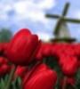 Tulpen_en_molen