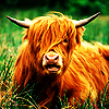 Animals: Highland Cow