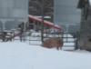snowpigs