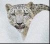 Ирбис в снегах