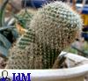 cactus cock
