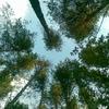 trees, деревья, сосны