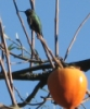 hummer, hummingbird, persimmon