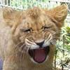 lion_cub