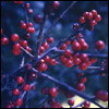 Christmas - berries