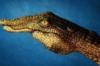 mars_crocodile
