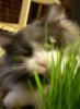 catgrass