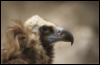 _vulture userpic