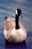 mutated_goose userpic