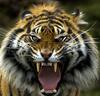 nature tiger