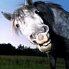 Horselaugh