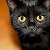 британский белогвардеец: оранж_кошка