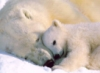 cherylad: polar bear snuggle