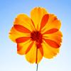 { ~ 夢踊り~ } ..... dance through my dreams: Misc: orangeflower_bright