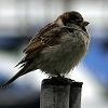 Миленькая , но наглая (птица)