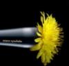 Жовта кульбаба