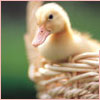 Duckling in basket