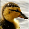 Duckling water on head