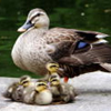 Shoon McAldrum: duck_w ducklings