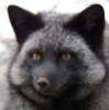 Silbern Fuchs