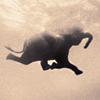 elefant swim