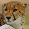 c-o-d: Cheetah