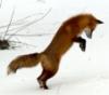 hunting_fox