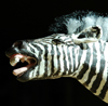 yawn, zebra
