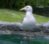 gull glaucous-winged seagull vancouver s