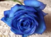 snow_white79: blue rose