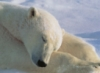 Polar Bear - sleeping