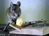 luboznatelnaia: мыша