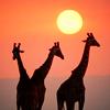 Africa - giraffes
