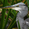 iblog93: grey heron