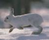 prairierabbit