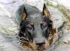 плывущий пёс