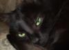 кот с китайскими глазами