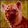 →Cursed! Hyena [Safari Day]