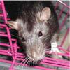 Huron Valley Rat Rescue