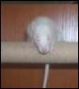 symbol rat