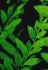 selva oscura: darkest leaf