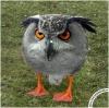 птица кайо