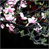 Jen: Black/pinkflowers