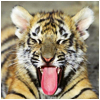 Jo Ann: Animals: Tiger sticks out tongue