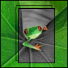 orange-eyed frog