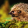 Animals: Hedgehog (Side on)