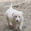мулёшка, пушистый, белый, mulioshka, собачка