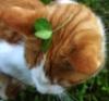 клеверный кот
