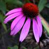 Des: Purple Coneflower